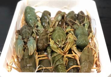 Flusskrebse Lebend Kaufen