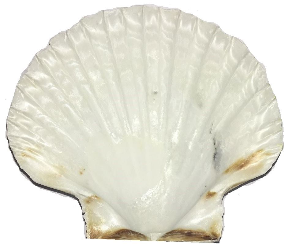 Jakobsmuschel Schale